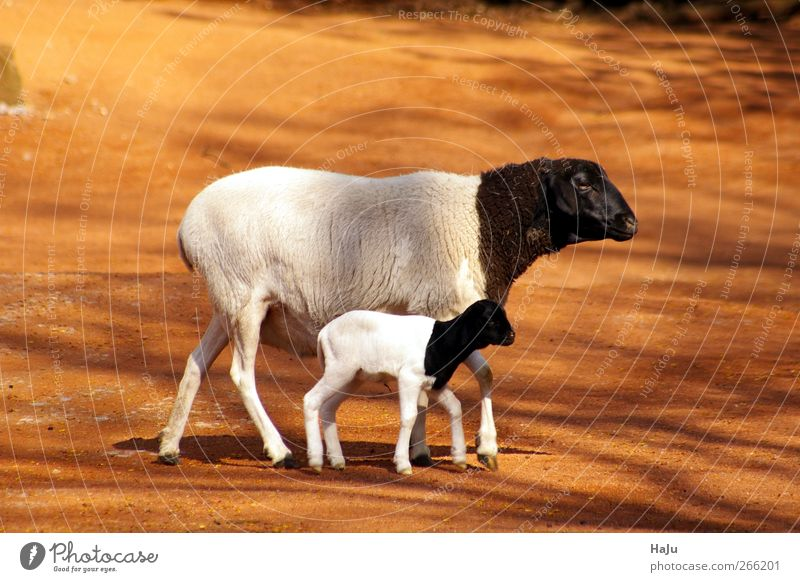 Nature White Animal Black Feminine Movement Baby animal Together Natural Stand Safety Warm-heartedness Cute Protection Zoo Sheep