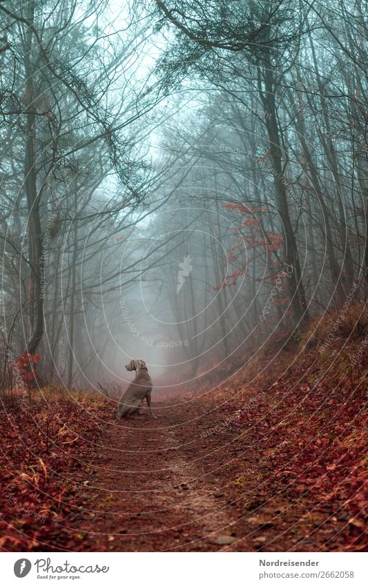 Autumn forest in the fog Hunting Trip Freedom Nature Landscape Elements Fog Rain Tree Forest Lanes & trails Animal Pet Dog Wait Watchfulness Dependability Idyll