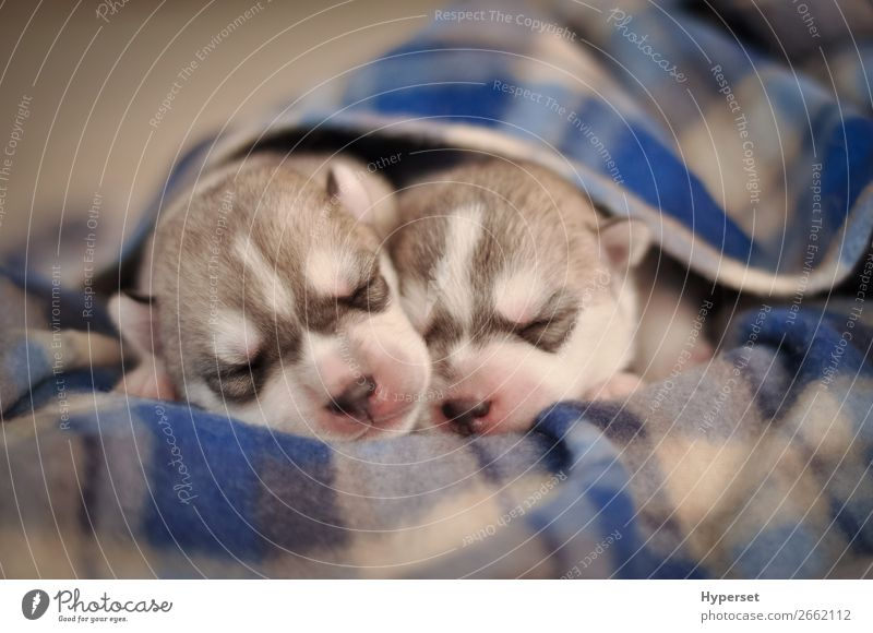 Little Newborn Puppies Purebred Gray And White Siberian Husky A Royalty Free Stock Photo From Photocase