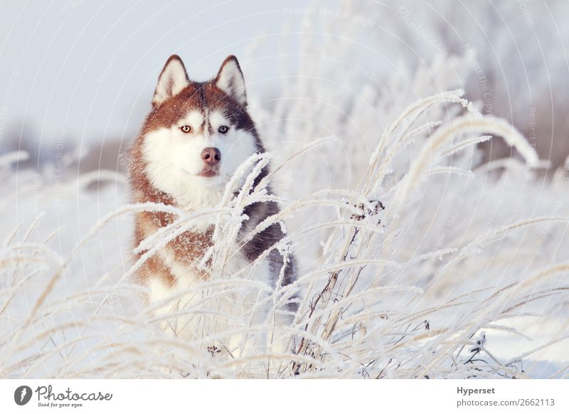 red dog siberian husky standing Happy Beautiful Winter Snow Sports Adults Nature Animal Pet Dog Cute White Husky young cold ice northern Domestic Mammal Frost
