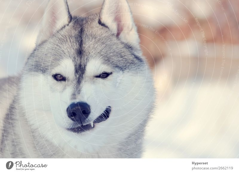 Winking dog. Light gray and white smiling husky dog Happy Winter Adults Teeth Dog Funny Cute Gray White winking Husky head fluffy fir eyes light Festive