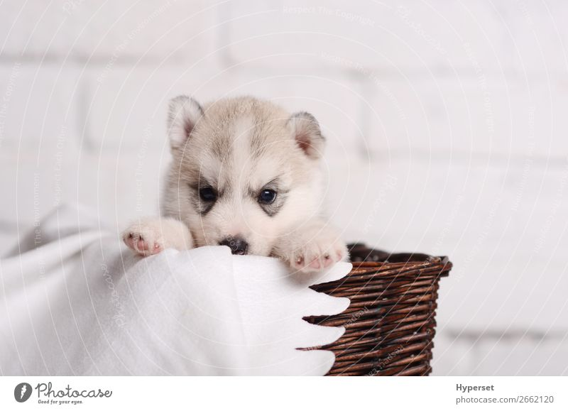 Cute small puppy siberian husky Baby Animal Pet Dog Animal face Paw Funny Soft Brown Gray White Husky Brick wall Purebred Domestic background Puppy rotang