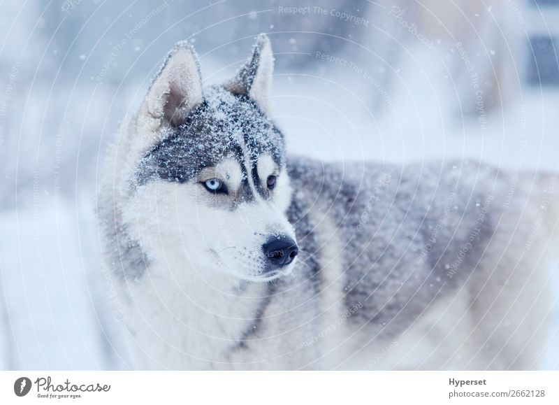 Snow flakes on the head siberian husky Winter Snowfall Dog Gray White bi-eyed Husky cold blue eye Frost snow on the nose Posture oudoors Exterior shot