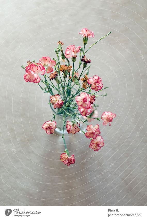 Rose Tulips Carnations Spring Flower Faded Authentic Bright Red Transience Still Life Vase Limp Dianthus Colour photo Interior shot Deserted Copy Space left