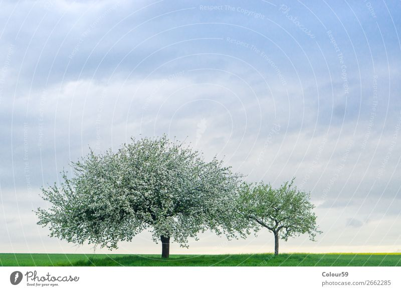 Apple tree with blossoms Summer Nature Sky Field Deserted Jump Contentment Joie de vivre (Vitality) Spring fever Safety Germany Hesse Agriculture Blossom