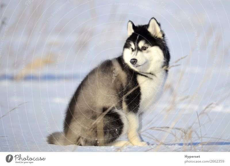 Siberian husky black and white fluffy woolie puppy Winter Snow Dog Sit Gray Black White Husky cold Frost siberian husky snow on the nose Posture Purebred