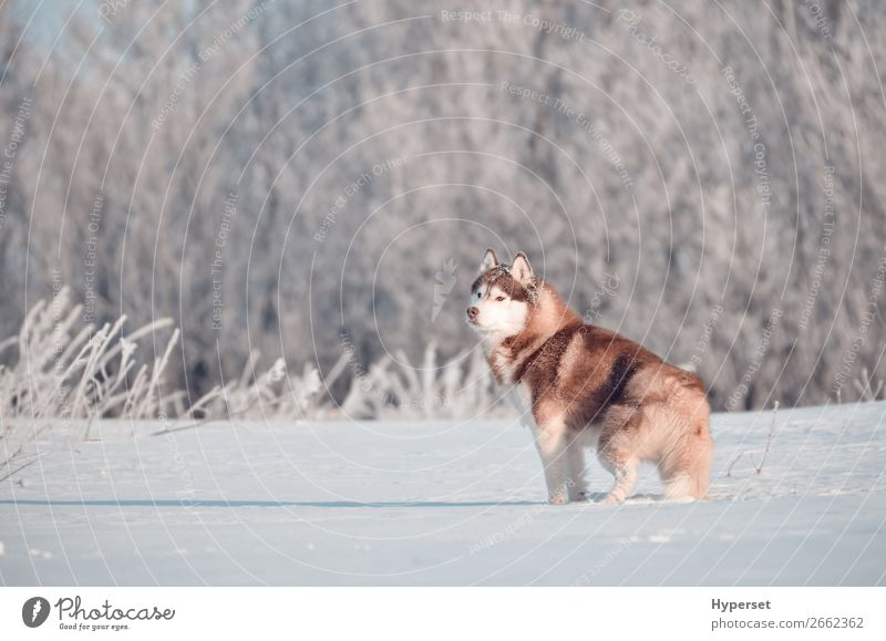 Red siberian husky dog standing in frost Winter Snow Landscape Tree Grass Forest Animal Pet Dog 1 Stand White Husky field Frost Posture hoar Exterior shot