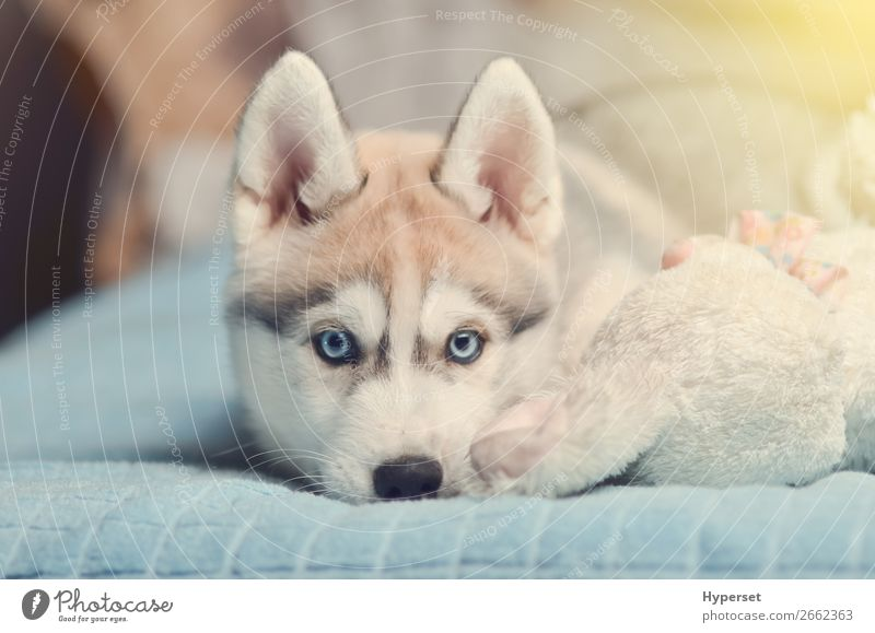 Siberian husky puppy with blue eyes purebred laying on the bed Animal Fur coat Pet Dog Toys Small Funny Cute Blue Gray Black White Husky young
