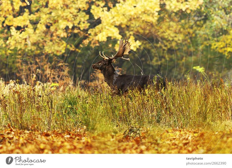 beautiful fallow deer in autumn forest Beautiful Playing Hunting Man Adults Environment Nature Landscape Animal Autumn Tree Grass Park Forest Large Natural Wild