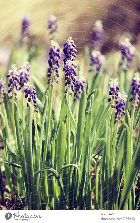 Hello spring! Nature Plant Sunlight Spring Beautiful weather Flower Leaf Blossom Muscari Garden Park Blossoming Fragrance Illuminate Dream Fresh Long Natural