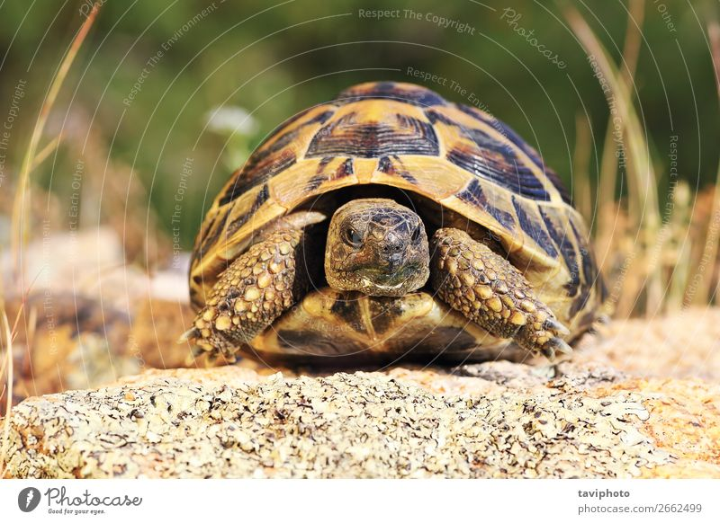 greek turtoise, full length animal in natural environment Beautiful Environment Nature Animal Old Large Natural Speed Wild Brown Green Protection reptilia