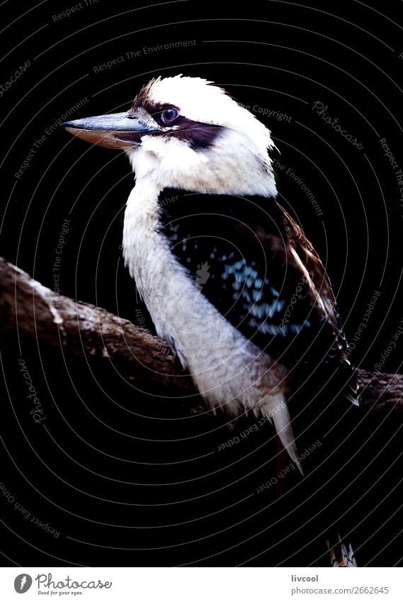 Kookaburra II, Australia Nature Vacation & Travel Beautiful Loneliness Animal Dark Black Spring Bird Trip Wild Adventure Feather Cute Friendliness