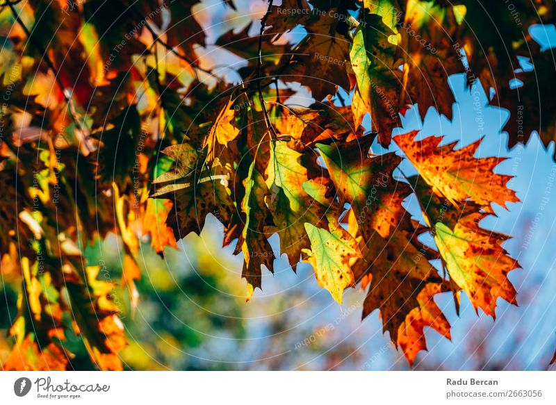 Yellow And Orange Autumn Tree Leaves In Fall Season Nature Plant Colour Beautiful Green Landscape Red Leaf Forest Environment Natural Garden