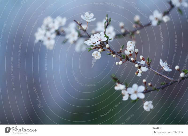 Nature Plant Blue Beautiful Environment Blossom Spring Decoration Idyll Esthetic Beginning Blossoming Romance Change Twig Blossom leave