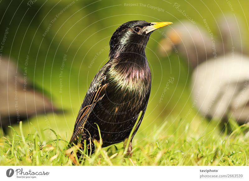 common european starling on lawn Beautiful Garden Nature Animal Grass Park Meadow Bird Natural Wild Gray Green Black Colour Starling Lawn Beak wildlife European