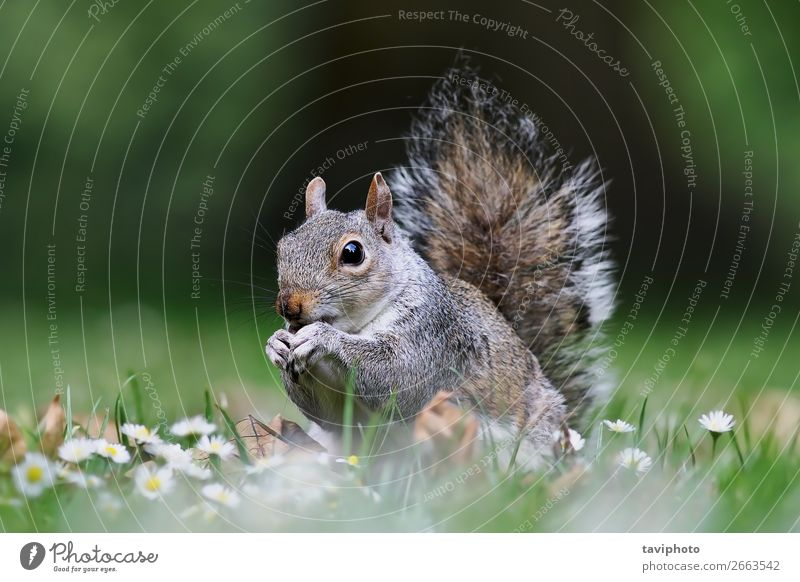 cute grey squirrel standing on lawn in the park Eating Beautiful Garden Nature Animal Grass Park Fur coat Feeding Stand Small Funny Natural Cute Wild Brown Gray