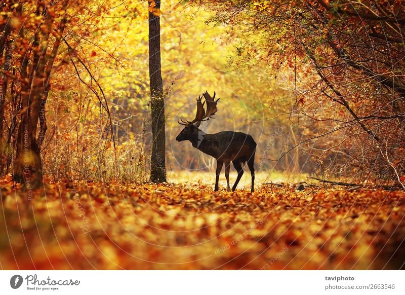 deer stag in colorful autumn forest Beautiful Playing Hunting Man Adults Environment Nature Animal Autumn Tree Grass Leaf Park Forest Street Natural Wild Brown