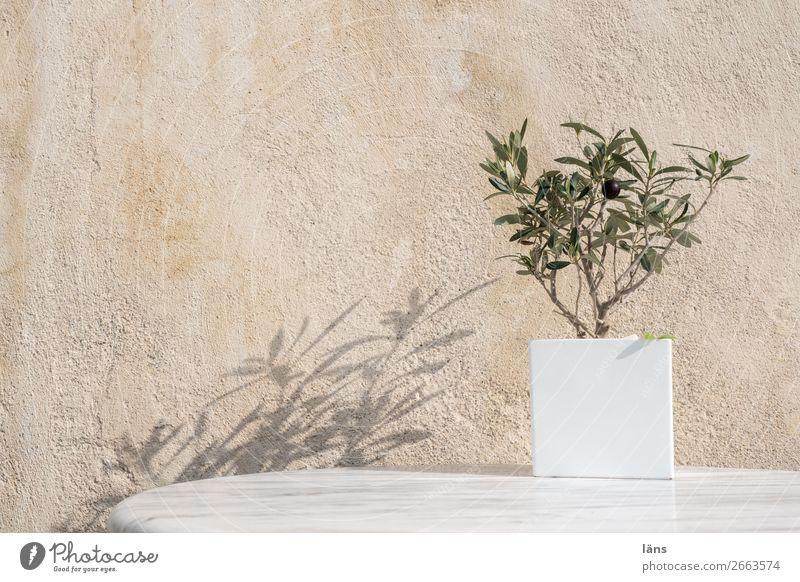 olive Vacation & Travel Tourism Wall (barrier) Wall (building) Facade Stand Simple Optimism Survive Santorini Olive Olive tree Exterior shot Deserted