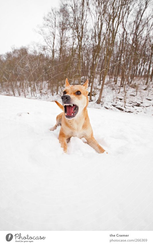Dog Nature White Tree Red Winter Animal Yellow Snow Ice Healthy Power Field Wild animal Frost
