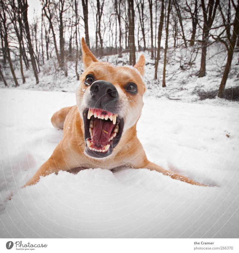 Dog Nature White Red Winter Animal Yellow Snow Ice Power Fear Field Wild animal Dangerous Frost