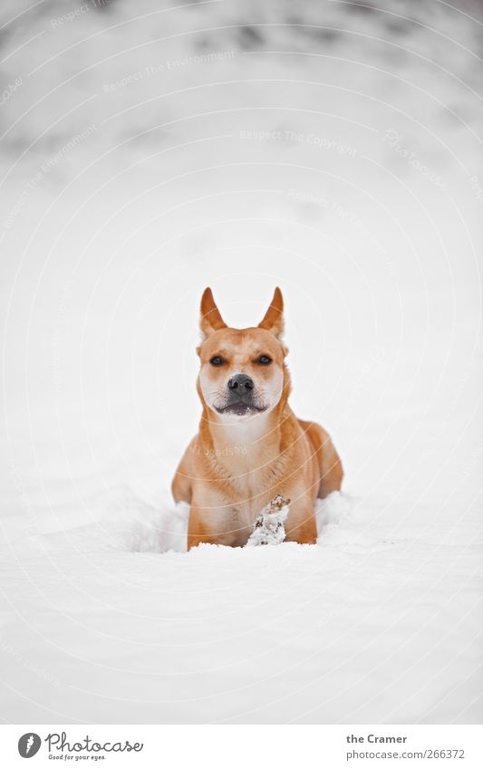 Wild Dog 04 Nature Winter Snow Meadow Field Animal Pet Wild animal Wolf Dingo 1 Observe Smiling Lie Dream Wait Healthy Free Bright Rebellious Yellow Red White