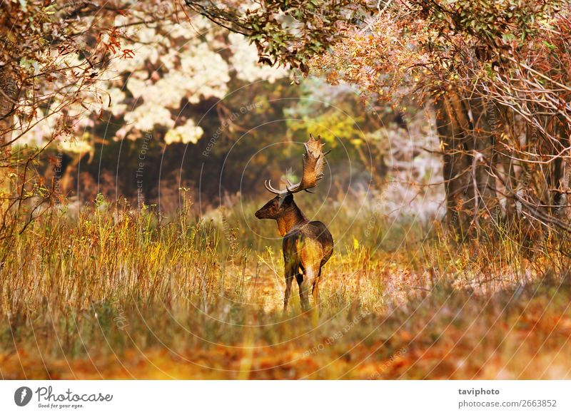 fallow deer buck in beautiful autumn forest setting Nature Man Colour Beautiful Landscape Tree Animal Leaf Forest Adults Autumn Natural Grass Brown Wild Park