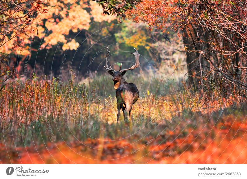 fallow deer buck in beautiful autumn setting Beautiful Playing Hunting Man Adults Environment Nature Landscape Animal Autumn Tree Grass Leaf Park Forest Street
