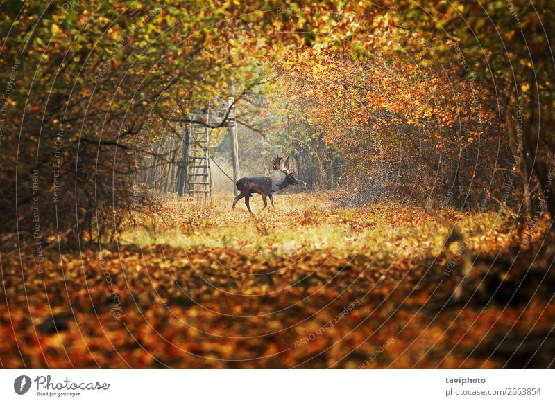 fallow deer buck on forest road Nature Man Colour Beautiful Green Landscape Animal Forest Street Adults Autumn Environment Natural Lanes & trails Playing Brown