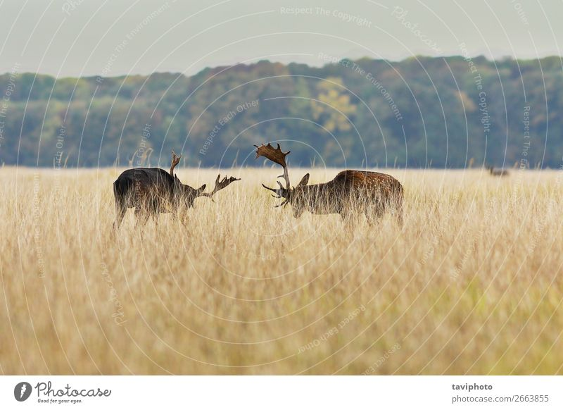fallow deer bucks fighting in mating season Beautiful Playing Hunting Man Adults Environment Nature Landscape Animal Autumn Grass Park Forest Fur coat Large