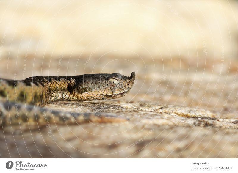 macro shot of european nose horned viper Beautiful Nature Animal Sand Snake Large Creepy Natural Wild Brown Fear Dangerous Viper ammodytes vipera Horn Reptiles