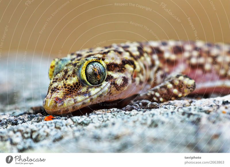 mediterranean house gecko portrait Exotic Beautiful Skin Face House (Residential Structure) Nature Animal Pet Natural Cute Wild Brown Gray Colour lizard Gecko