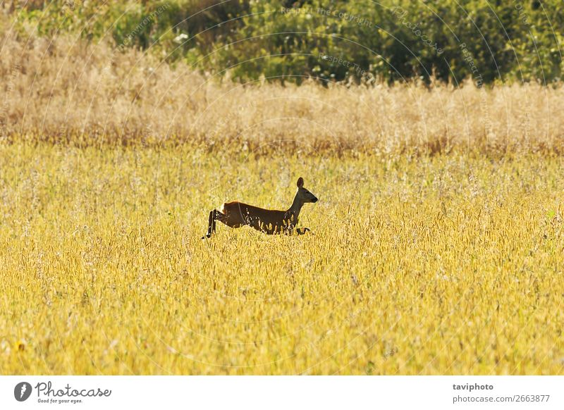 roe deer jumping in wheat field Woman Nature Summer Colour Beautiful Green Landscape Animal Adults Natural Meadow Grass Playing Brown Wild Jump
