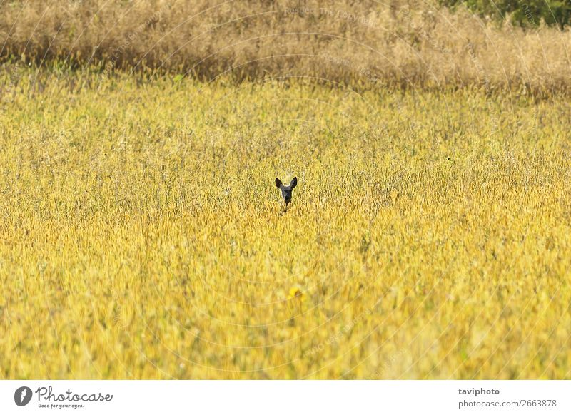 roe deer watching from wheat field Woman Nature Summer Beautiful Green Landscape Animal Adults Natural Meadow Playing Brown Wild Vantage point Cute Observe