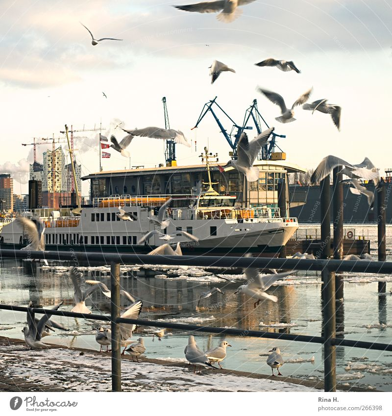 the most beautiful city in the world City trip Winter Ice Frost River Hamburg Port City Harbour Navigation Passenger ship Bird seagulls Flock Flying Bright
