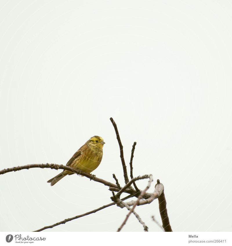 Good Morning, Friday Environment Nature Animal Sky Plant Tree Branch Bird Yellowhammer 1 Crouch Looking Sit Free Bright Small Natural Cute Gray Freedom