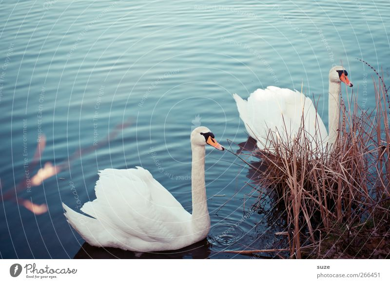convergence Environment Nature Animal Water Grass Lakeside Wild animal Bird Swan 2 Pair of animals Rutting season Observe Esthetic Beautiful Blue White Moody