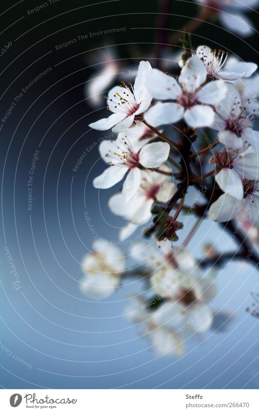 A new beginning with spring Cherry blossom spring awakening cherry blossom Blossom Spring Flowering April May Twig Spring flowering plant herald of spring