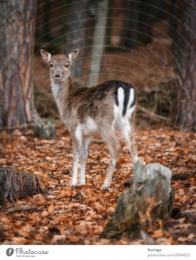 observantly Nature Animal Autumn Winter Leaf Forest Wild animal Animal face Pelt Paw Zoo 1 Baby animal Looking Fallow deer Roe deer Colour photo Subdued colour