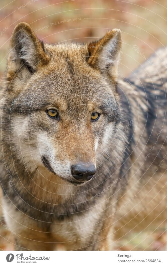 wolf Animal Wild animal Dog Animal face Pelt Zoo 1 Observe Wolf Colour photo Subdued colour Multicoloured Exterior shot Detail Deserted Dawn Light Shadow