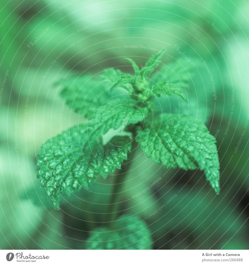 Nature Green Plant Leaf Environment Meadow Spring Healthy Field Fresh Organic produce Wild plant Stinging nettle