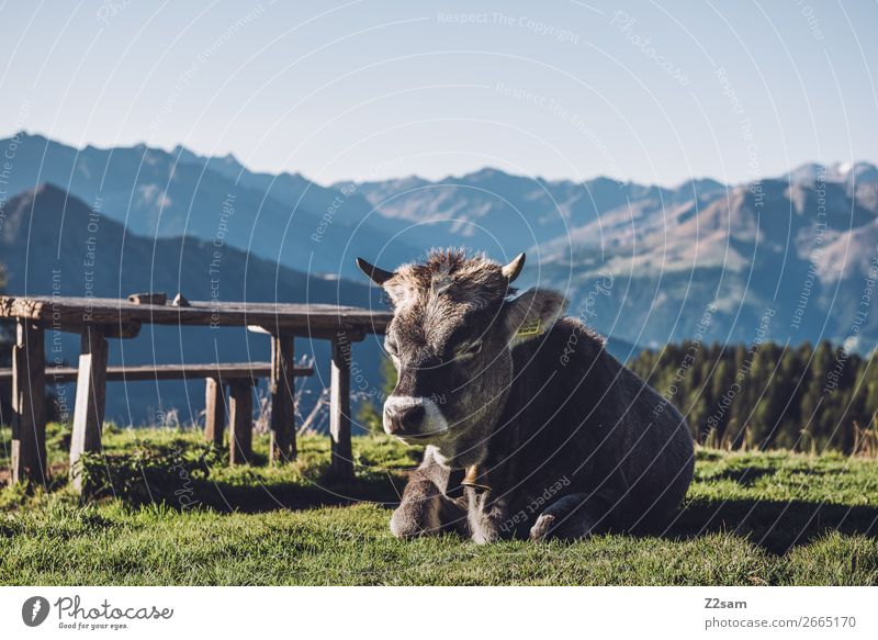 South Tyrolean cow Hiking Climbing Mountaineering Nature Landscape Summer Beautiful weather Grass Alps Farm animal Cow Relaxation Lie Sleep Natural Blue Green