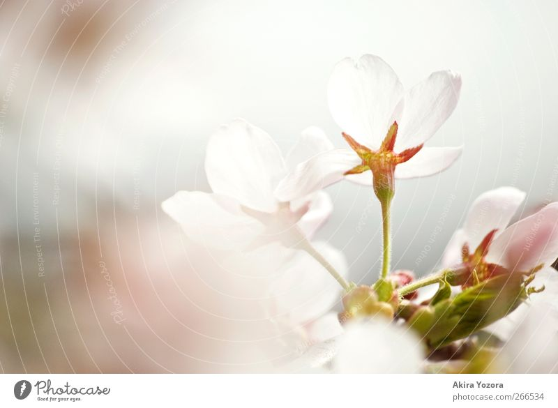 Don't hide behind Nature Spring Blossom Cherry blossom Blossoming Esthetic Green Pink White Spring fever Beginning Emotions Idyll Colour photo Subdued colour