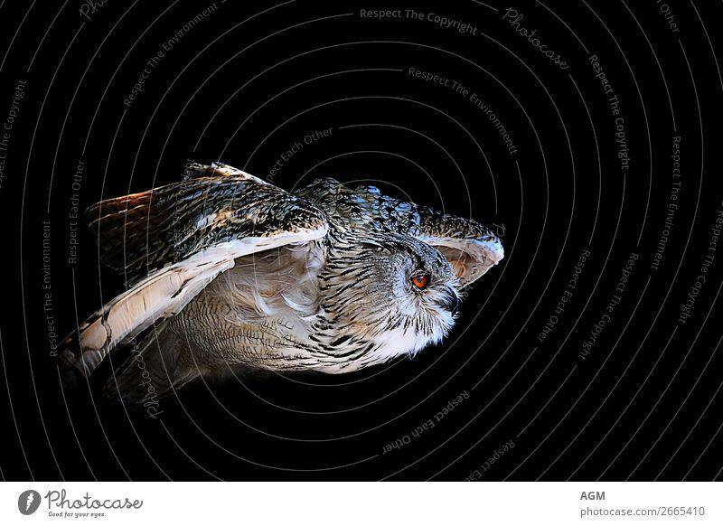 Owl in flight against a black background Animal Wild animal Bird owl 1 Flying Hunting Esthetic Dark Near Speed Black Joie de vivre (Vitality) Power Wisdom