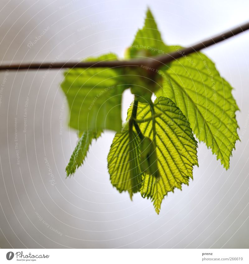 it greenens so... Environment Nature Plant Bushes Leaf Wild plant Gray Green Twig Twigs and branches Rachis Leaf green Leaf bud Spring Spring colours Close-up