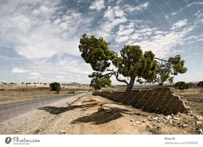 Lonely Pine II Nature Landscape Plant Sky Clouds Summer Autumn Beautiful weather Stone pine Coniferous trees Tunisia Wall (barrier) Wall (building) Street Sand