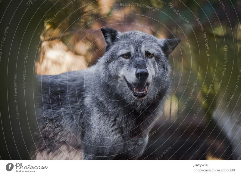 Canis lupus Environment Nature Summer Autumn Forest Animal Wild animal Zoo Wolf Enclosure Observe Threat Natural Curiosity Beautiful Power Willpower