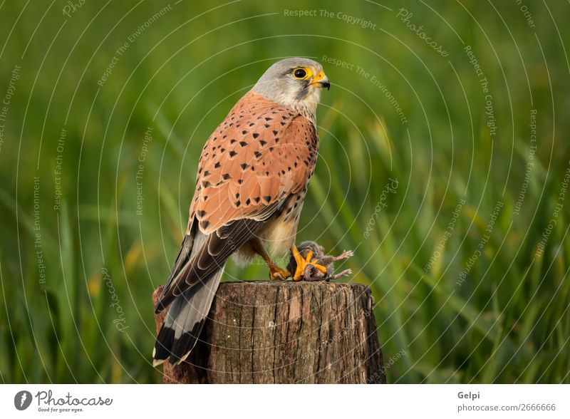 Beautiful bird of prey on a trunk Hunting Woman Adults Nature Animal Bird Observe Natural Wild Brown Green White Falcon Kestrel wildlife common raptor Prey