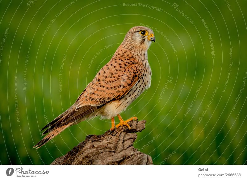 Beautiful bird of prey on a trunk Woman Adults Nature Animal Bird Observe Natural Wild Brown Green White Falcon Kestrel wildlife common raptor Prey falco