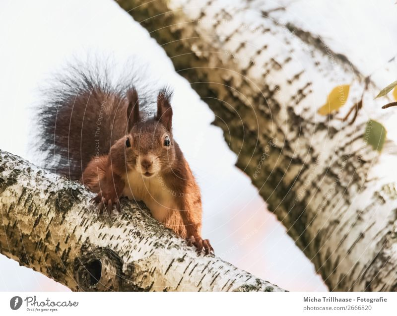 Curious squirrel Environment Nature Animal Sunlight Beautiful weather Tree Birch tree Wild animal Animal face Pelt Claw Paw Squirrel Eyes Ear 1 Observe Looking