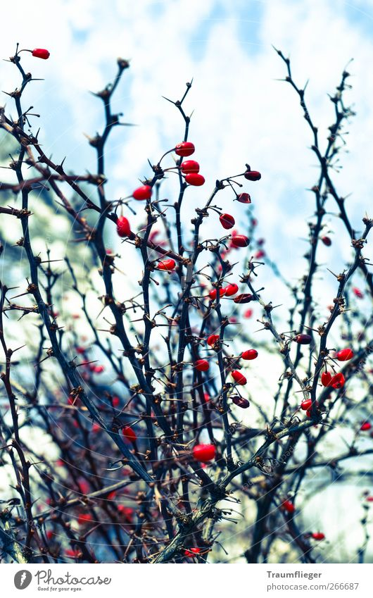 red paint splotches in winter... Fruit Berries Winter Nature Plant Ice Frost Bushes Wild plant Dog rose Freeze To dry up Cold Thorny Red Colour Colour photo